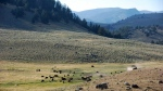 In This Aug. 26, 2016, file photo, a herd of bison appears in Yellowstone National Park's Lamar Valley in Montana. (AP Photo/Matthew Brown, File)