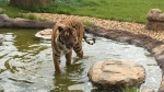 A tiger is seen in this photo from the Hamerton Zoo Park. (source: Facebook / Hamerton Zoo Park)