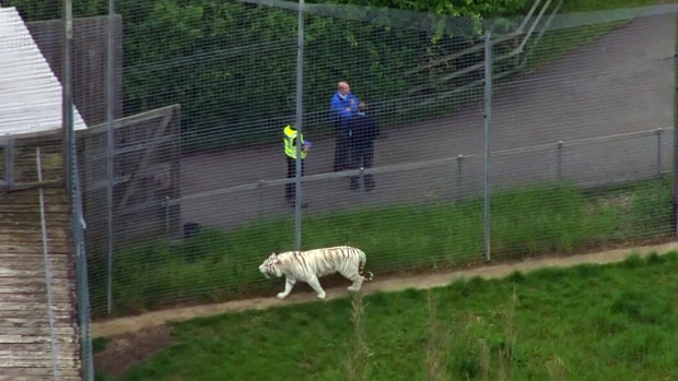 A female zookeeper was killed by a tiger at Hamerton Zoo Park, Monday, May 29, 2017.