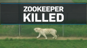 U.K. zookeeper killed in incident involving tiger