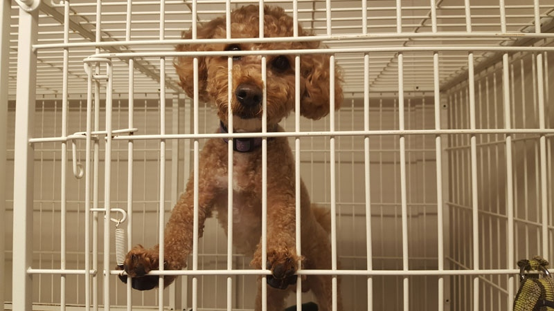 This poodle was found abandoned inside the suitcase. Staff at the Richmond Animal Protection Society are calling him Donut. (CTV)