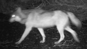 Wolf killed after attacking dog near Tofino