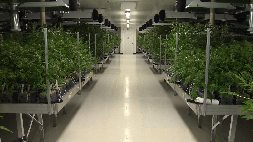 United Greeneries currently grows more than 4,000 marijuana plants in its 16,000 square-foot space. May 31, 2017 (CTV Vancouver Island)