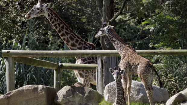 Giraffe at New Jersey zoo dies during medical procedure