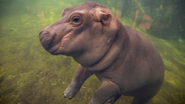 Baby Hippo Fiona Makes Her Media Debut At Zoo Explores