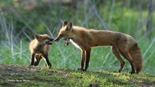 A mother fox and kit set off for an evening hunt near Morrisburg. (Brian Morin/CTV Viewer)