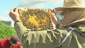 CTV Montreal: Caring for bees