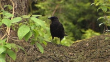 Crow attacks in Vancouver