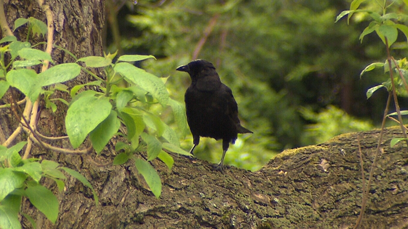 An expert says the birds are drawn to Vancouver's West End by the amount of restaurant garbage and tall leafy trees.