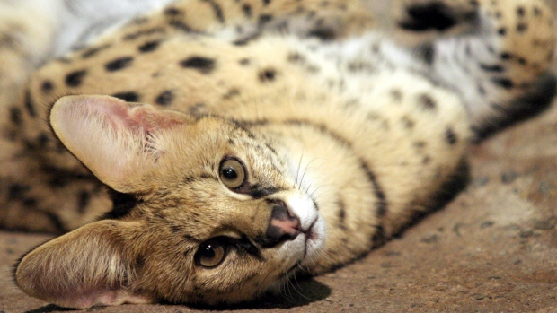 Look Out for an African Serval Cat