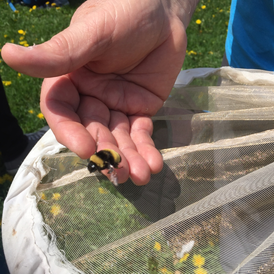 Rare Yellow-banded Bumble Bee tallied right on Parliament Hill by squad of parliamentarians and naturalists, May 16 2017. (CWF-FCF)