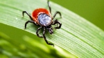 A deer tick that can transmit Lyme disease is shown in this file photo.