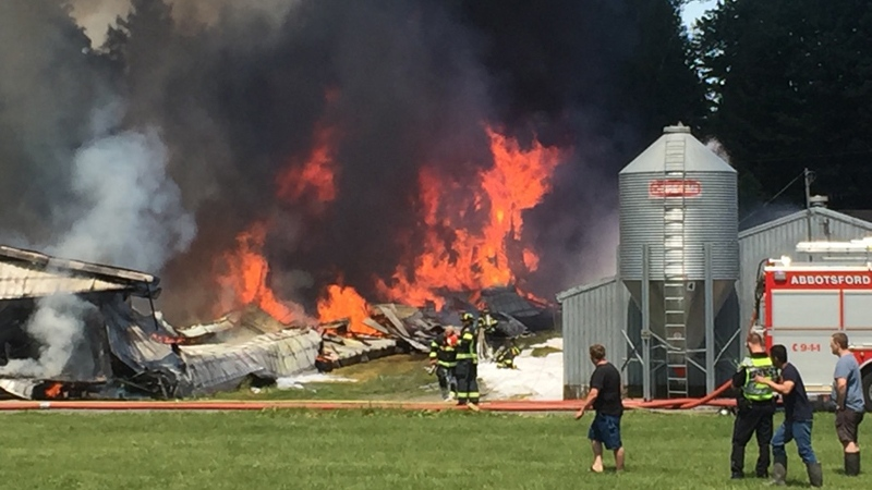 up to 10 000 chickens dead after abbotsford barn fire