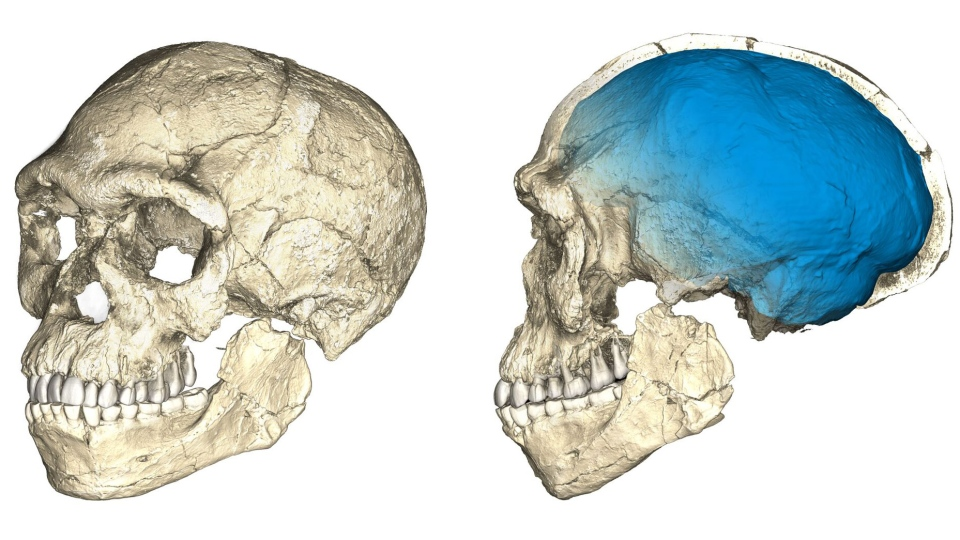 This image shows two views of a composite reconstruction of the earliest known Homo sapiens fossils from Jebel Irhoud (Morocco) based on micro computed tomographic scans of multiple original fossils. (MPI EVA Leipzig / Philipp Gunz)