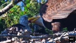 A bald eagle feeds a baby red-tailed hawk in a nest in Sidney, something biologists say has rarely been seen in nature. June 7, 2017. (Courtesy SassePhoto/Christian Sasse)