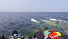 The CBWTOA believes the the new regulations surrounding Beluga whale tours could hurt the economy to a tune of $10 million. (File)
