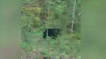 Saanich bear will be trapped and killed,