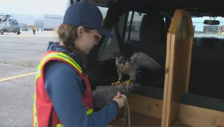 Kaitlyn Boak works with a peregrine falcon named Tom Bo to help keep the skies clear for Sea Kings at 12 Wing Shearwater.