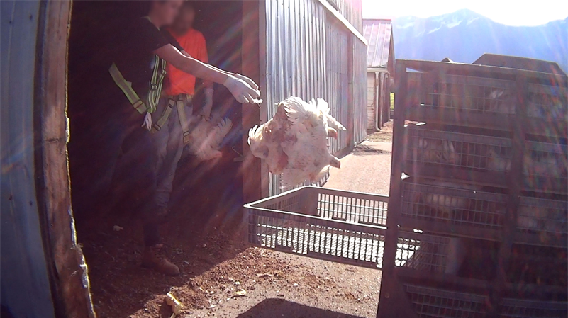Workers toss chickens into crates at a farm on B.C.'s Fraser Valley, in footage captured by a Mercy for Animals whistle blower. (MFA)