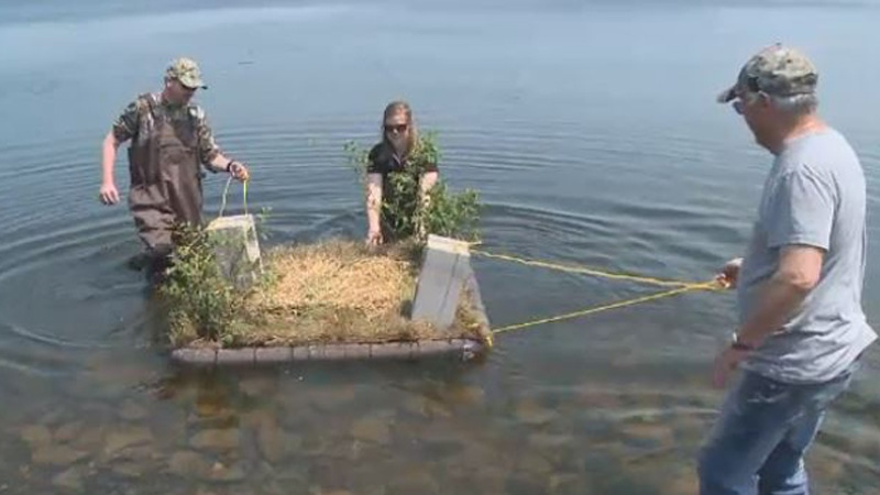 These floating nesting platforms are being launched in some Cape Breton bodies of water in an effort to help save the common loon.