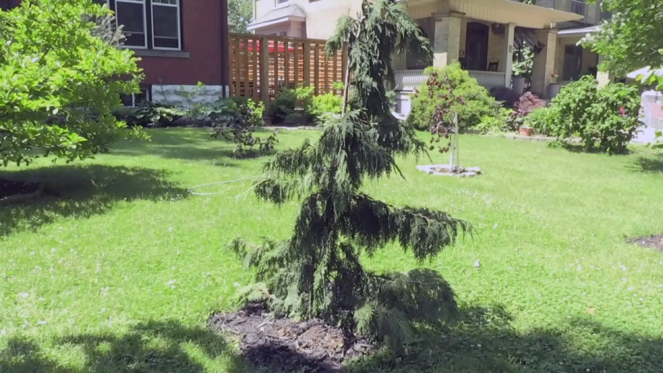 This weeping nootka cypress tree was stolen from Patrick O'Rourke's yard, then later found elsewhere in Stratford and returned to O'Rourke.