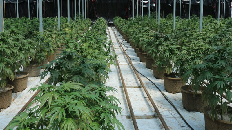 Some of the thousands of marijuana plants seized from a property on Concession 14 in Norfolk County are pictured here. (Norfolk County OPP)