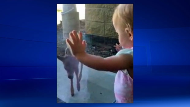 Kim Free captured her daughter Piper watching a newborn fawn's first steps in Sundre (image: Kim Free)