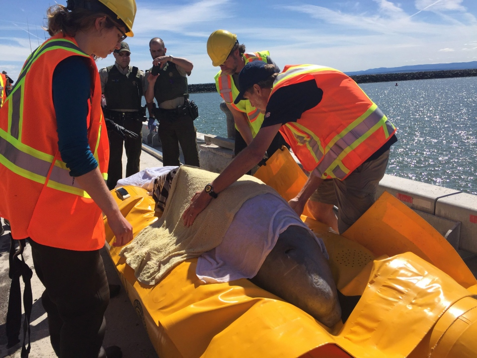 A beluga whale is rescued after getting stuck in the Nepisiguit River in Bathurst, N.B., on Thursday, June 15, 2017, in this handout photo. (The Canadian Press/HO - Fisheries and Oceans Canada, GREMM ou Whale Stewardship Project)