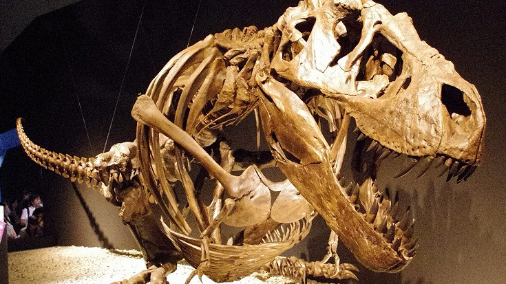 A model of a fossilized Tyrannosaurus Rex skeleton is on display in this file photo. (Wikimedia commons)