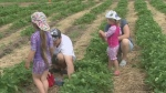 CTV Barrie: Strawberry season