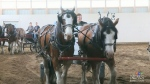 Sask. Clydesdale Association hosting Breeders' Cup
