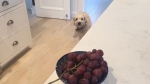 Grapes are one of the foods that can be toxic to dogs. (CTV)