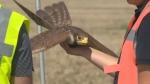 Hawk Drone