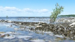 The spread of zebra mussels in Lake Winnipeg