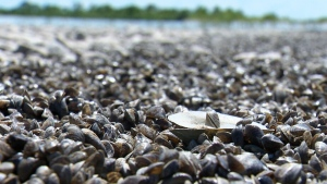 Zebra mussels are seen in this file photo.