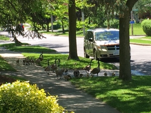 From MyNews user Candie Moser in in Waterloo, Ont.: We were out on our front yard and this family of geese was going for a stroll. They were on their way to a pond located in our neighbourhood.