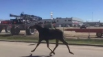 A moose is seen on Eastgate Drive in Regina on Wednesday, June 21, 2017. (ALEX BROWN/CTV REGINA)