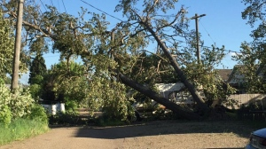 Many large trees toppled onto homes in Red Deer during the strong storm on Tuesday.