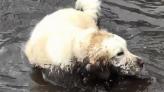 Mud-loving golden retriever goes viral