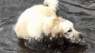 Mud-loving golden retriever goes viral