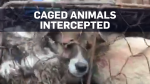 40 dogs intercepted on way to dog meat festival
