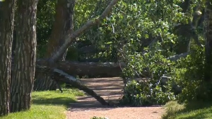 The storm blew trees over onto pathways and streets in Red Deer.