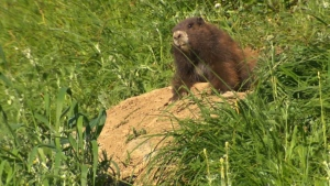 The Vancouver Island Marmot, one of the world's rarest animals, has made a remarkable recovery in recent years thanks in no small part to the work of the recovery centre on Mount Washington. June 21, 2017. (CTV Vancouver Island)