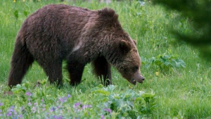 File: A grizzly bear roams near Beaver Lake in Yellowstone National Park on July 6, 2011. (Jim Urquhart/AP)