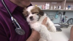 A tiny Shih Tzu, nicknamed Wallace, takes a snooze a week after nearly dying from an opioid. June 21, 2017. (CTV)