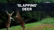 'Slapping' deer caught fighting on camera