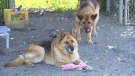 German shepherds Fred and Ginger are seen at the New Westminster Animal Shelter.
