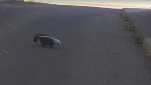 A good Samaritan rescued a Kemptville skunk from a stinky situation on Thursday, June 22, 2017.