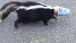 CTV Ottawa Extended: Good Samaritan rescues skunk