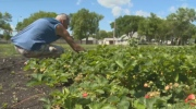 Community gardens being uprooted by Manitoba Hydro